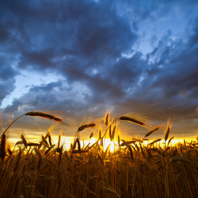 Previous storm over wheat