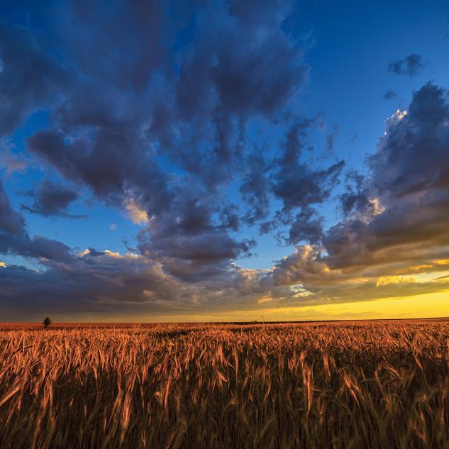 Golden Sun over wheat