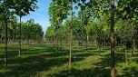 Császárfa és császárfa – ugyanaz?