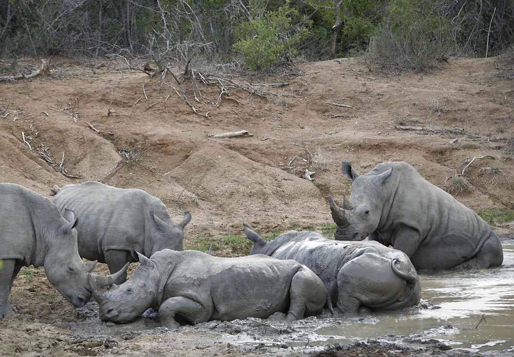 Rhinos in a Mud Wallow Greater Kruger National Park Safari