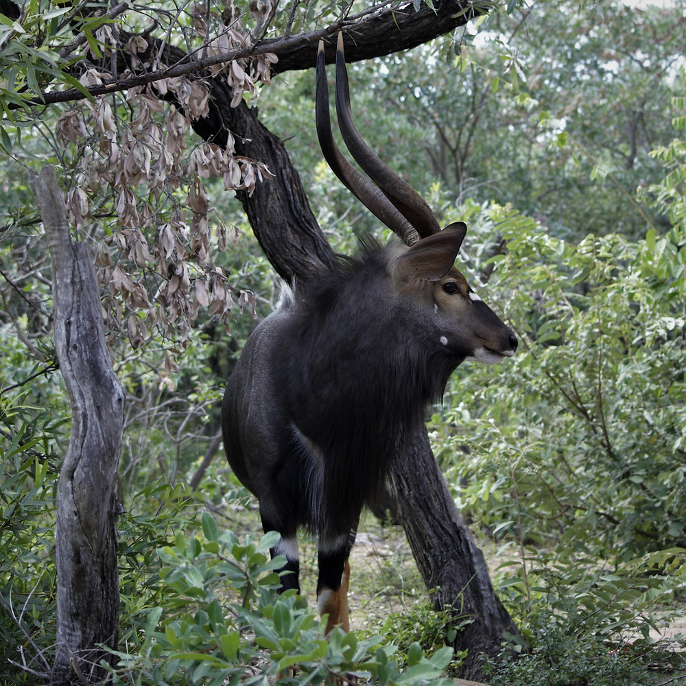 Nyala antelope south african safari. Wildlife and wilderness exploration.