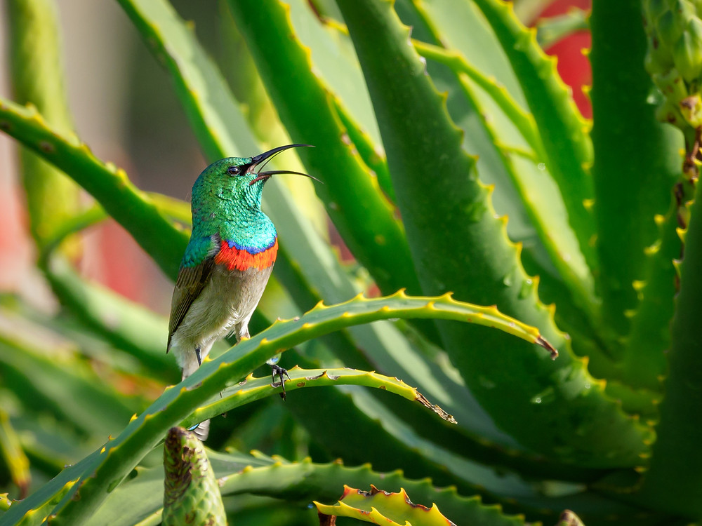 Aloé vera plant with tiny colorful bird perched on it