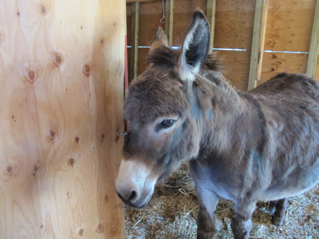 donkey at petting zoo