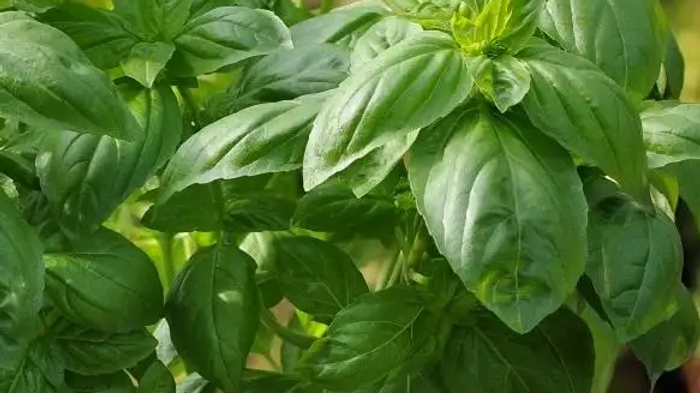 Genovese Basil 4 inch plant start