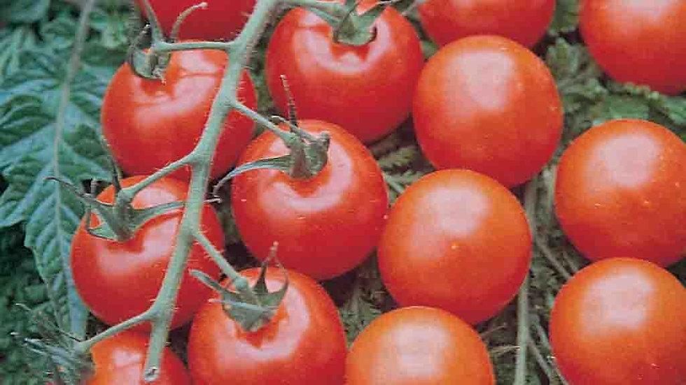 Supersweet Cherry Tomato 4 inch Plant Start