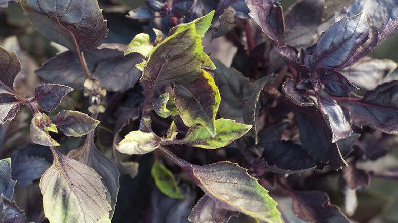 Dark Purple Opal Basil 4 inch plant start