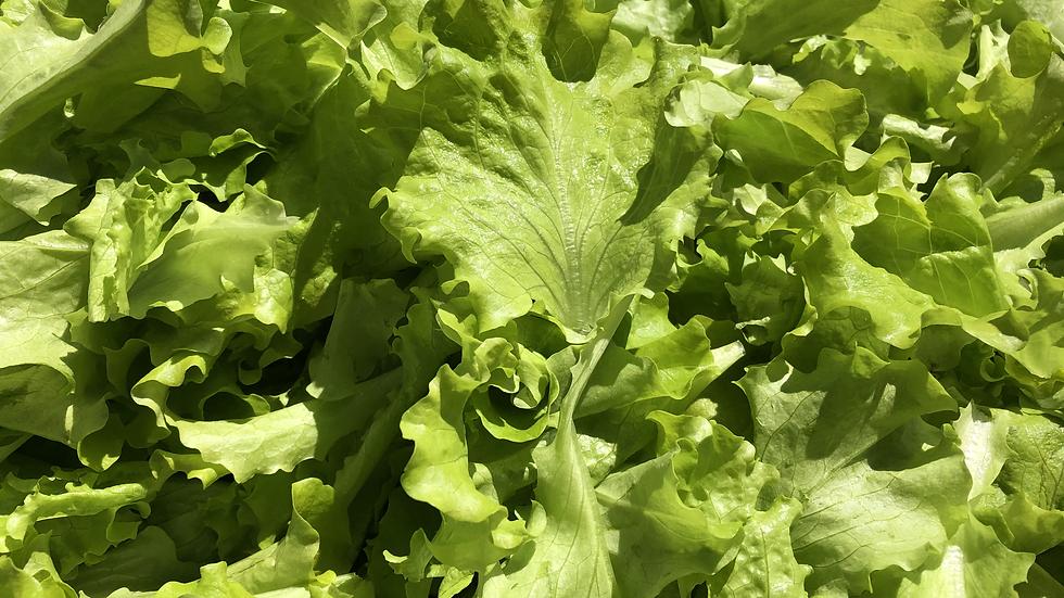 Grand Rapids Leaf Lettuce 6 oz Bag