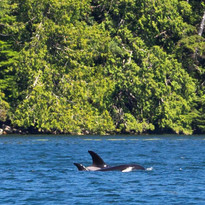 Two Orcas travelling