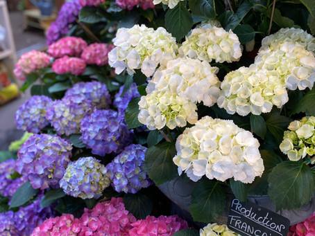 パリの花市場で色鮮やかな紫陽花に出会う