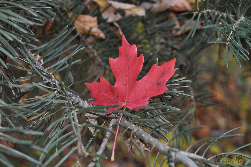 Scarlet Pine