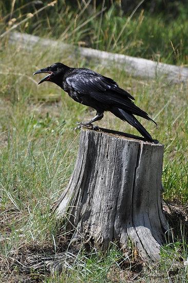 Hark the Raven