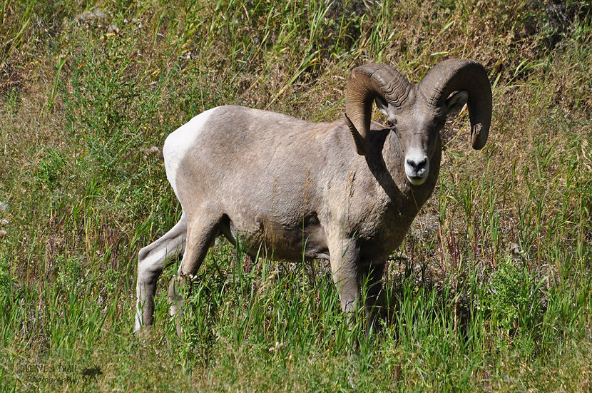 Rugged Ram
