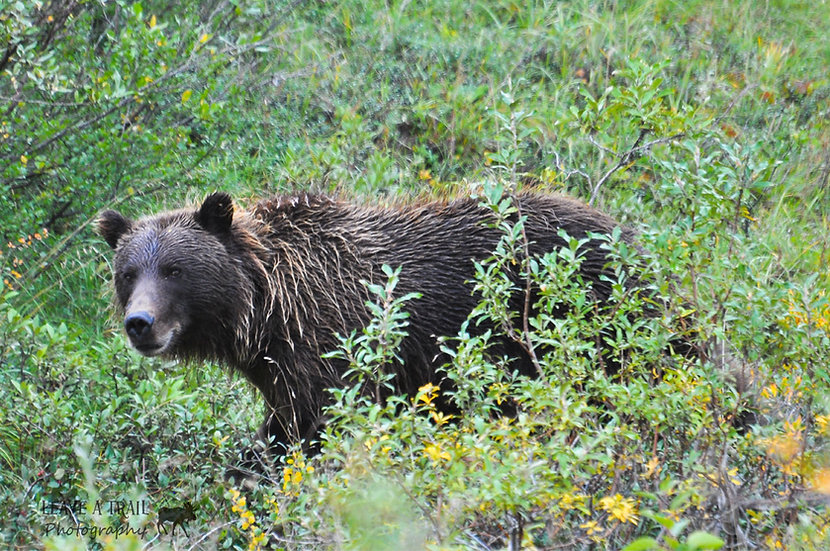 Bear Glare