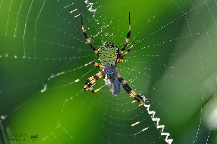 Just a Garden Spider