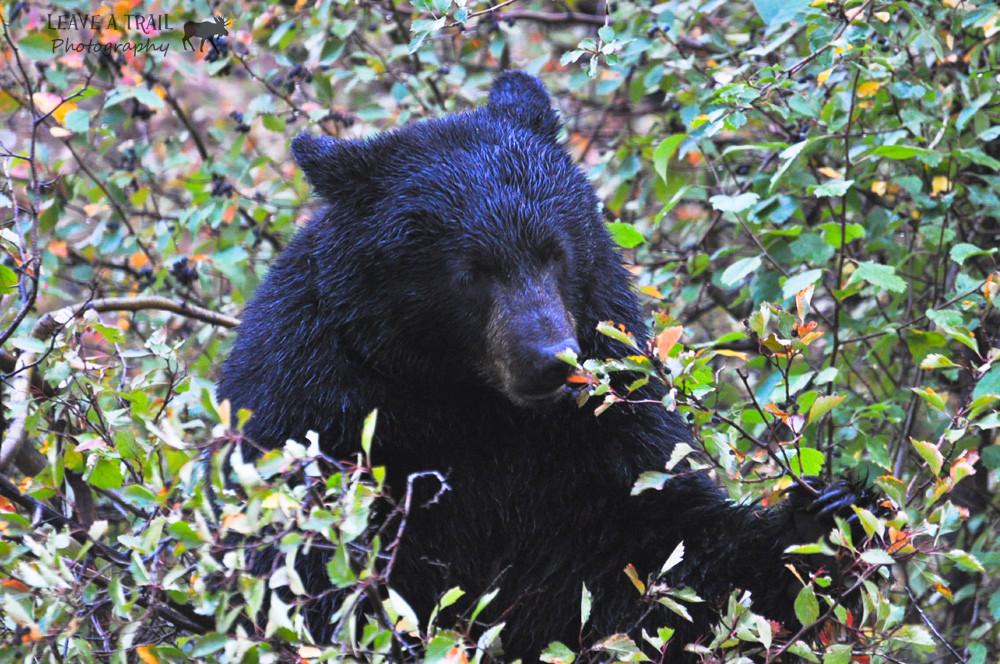 Foraging Black Bear on Moose-Wilson Road