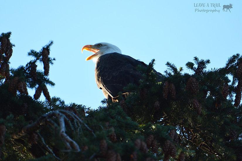 Gleaming Eagle