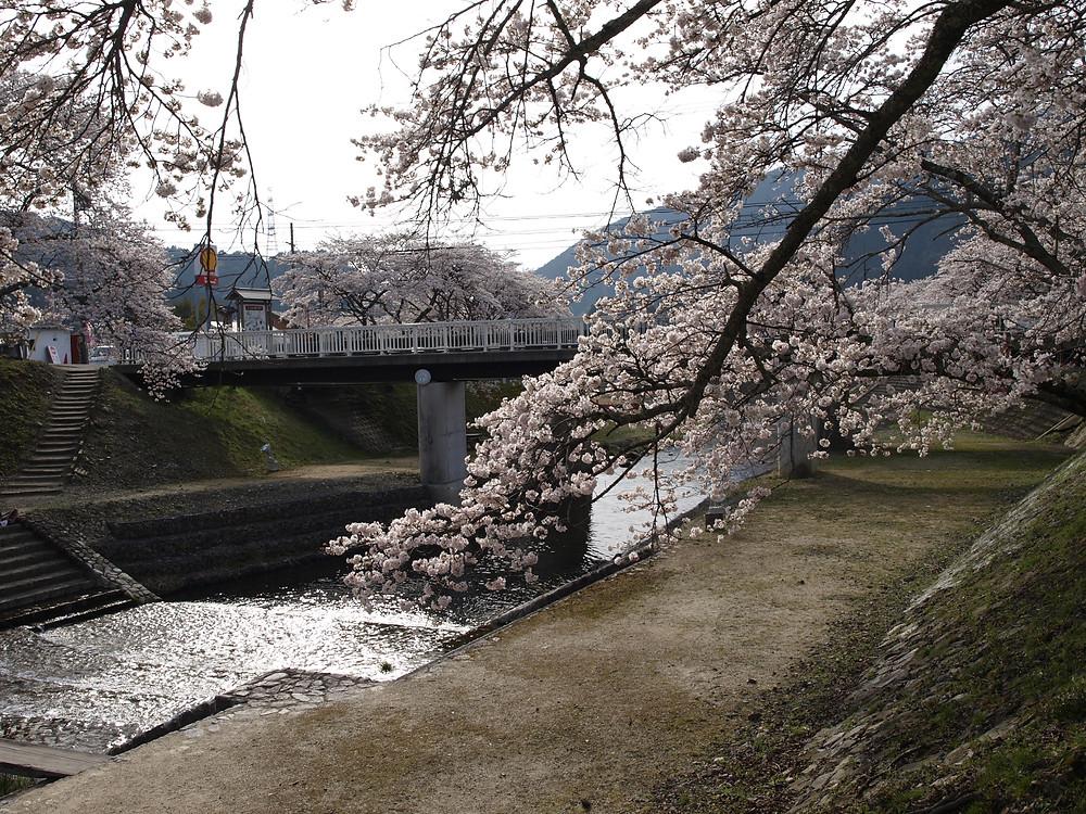 滋賀県 土山町 ウグイ川 桜