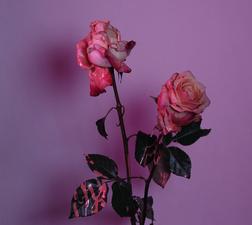 rococo evening rose