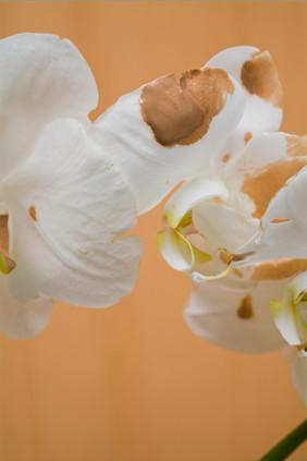 orchidia lust lush.3