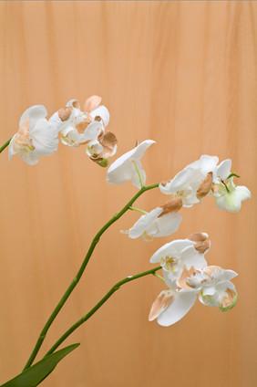 orchidia lust lush.1