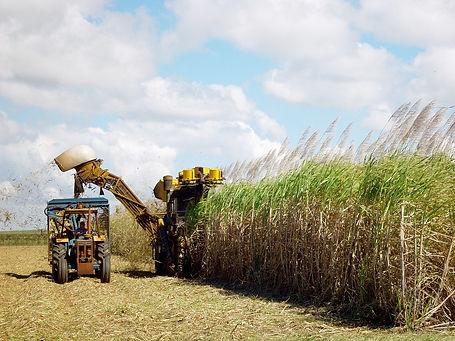 sugar-cane-harvesting-1553007-1280x960.j