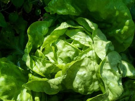 Salate - Das ganze Jahr über im eigenen Garten ernten
