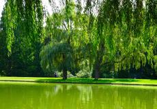 WEEPING GREEN