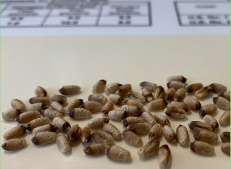 Detect Your Black Fungus in Wheat