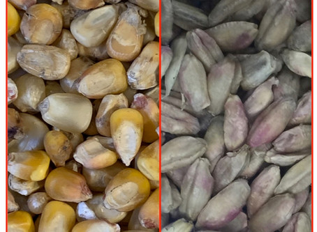 Aflatoxins: The Need for Early Detection