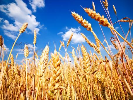 Wheat Phenotyping, Grading, and Fusarium Detection