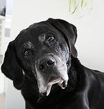 douleurs chiens agés arthrose