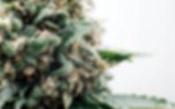 cannabis-flower-up-close-960x600.jpg