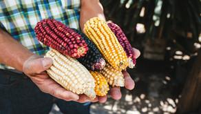 Cofepris niega por primera vez permiso al maíz transgénico, acusa el Consejo Nacional Agropecuario