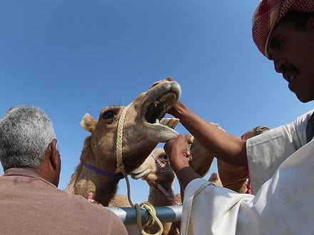 qatar-animal-racing-culture_ee24a30a-113