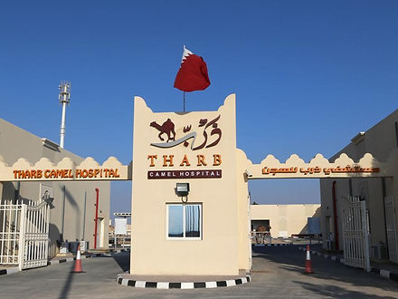 qatar-animal-racing-culture_24fc82bc-113
