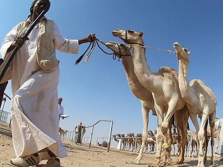 qatar-animal-racing-culture_0fd54bb2-113