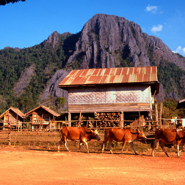laos cows background.jpg
