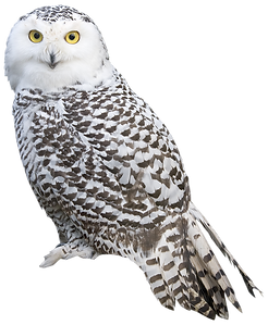 owl_PNG35.png