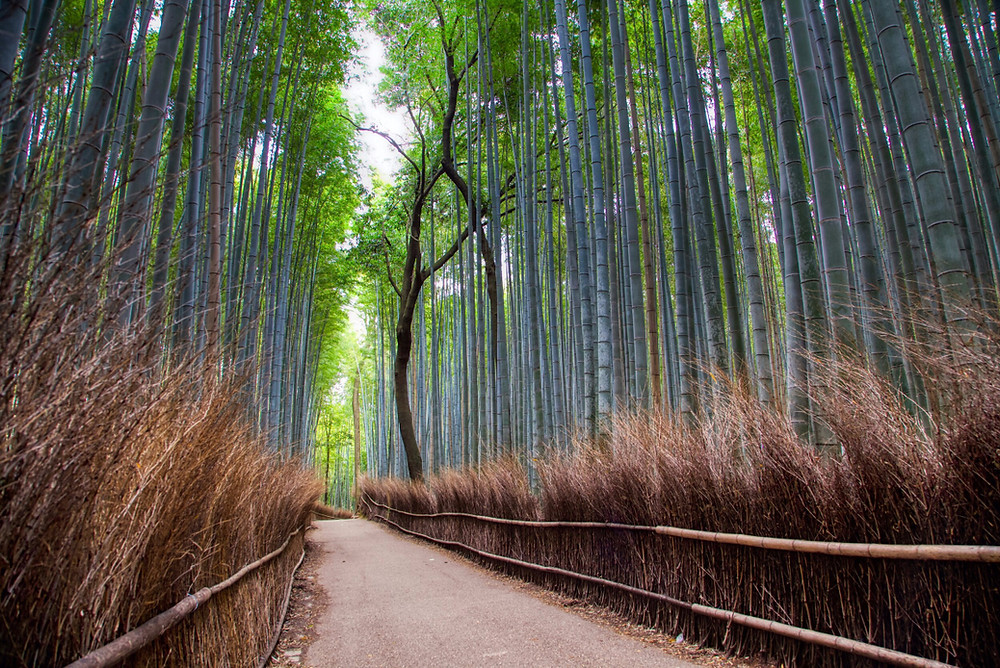 The Arashiyama Bamboo Grove in western Kyoto is known for its bamboo-tree lined pathways and serene atmosphere