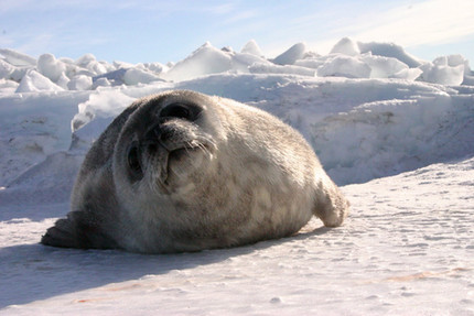 Spot Our Seals in the Ross Sea!