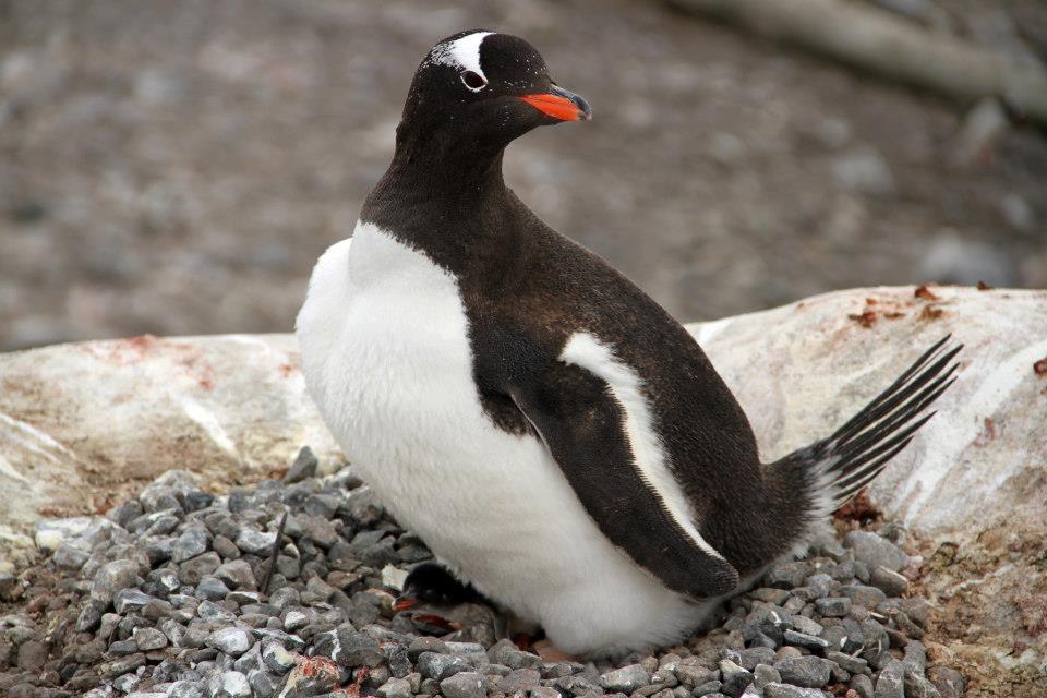 Gentoo penguin (c) Michelle LaRue