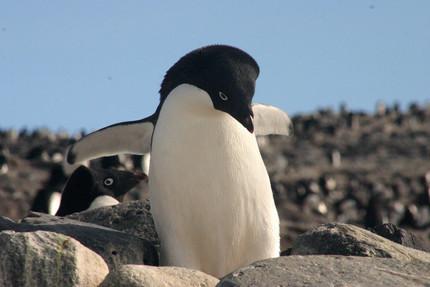 Climate change winners - Adélie penguins