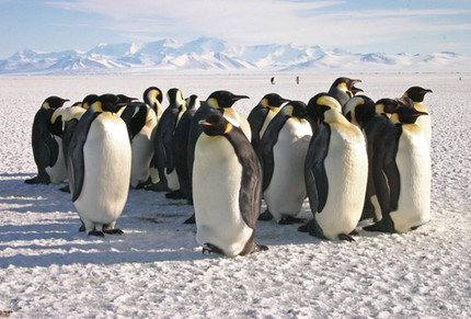 Emperor penguins may move in response to climate change