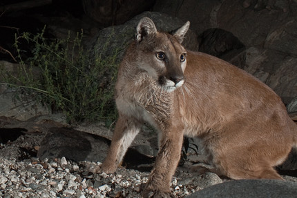 Cougars making a comeback in Midwest