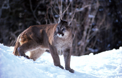 Cougars are recolonizing the Midwest