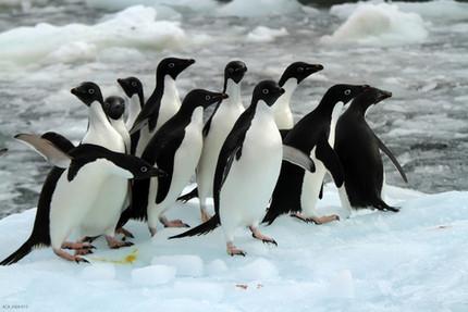 Adélie penguin census - a first
