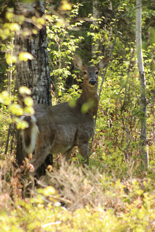 White-tailed deer (c) Michelle LaRue