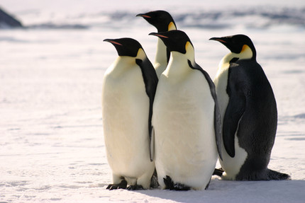 First ever census of emperor penguins