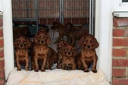 Heathclare puppies