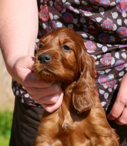 Rafferty & Annie puppies nearly 6 weeks